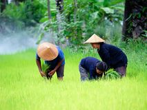 Thailändische Landwirttransplantations-Reissämlinge auf dem Planfeld bei Sako Stockfoto