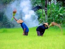 Thailändische Landwirttransplantations-Reissämlinge auf dem Planfeld bei Sako Stockfotografie