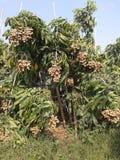 Thailändische Longan sweeet Früchte Stockfoto