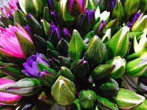 Thailändische Lotus Flower Lizenzfreies Stockfoto