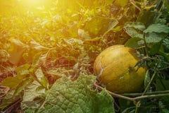 Thailändische Melone stockbild