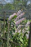 Thailändische Orchidee Flowers-31 Stockfotografie