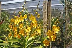 Thailändische Orchidee Flowers-30 Lizenzfreies Stockbild