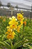 Thailändische Orchidee Flowers-29 Stockbild