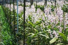 Thailändische Orchidee Flowers-25 Stockfoto