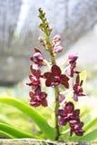 Thailändische Orchidee Flowers-24 Lizenzfreies Stockbild
