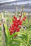 Thailändische Orchidee Flowers-23 Stockfotos