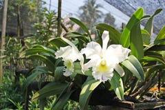 Thailändische Orchidee Flowers-22 Stockfotografie