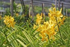 Thailändische Orchidee Flowers-19 Lizenzfreie Stockfotos