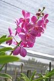 Thailändische Orchidee Flowers-18 Lizenzfreies Stockbild