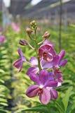 Thailändische Orchidee Flowers-15 Lizenzfreies Stockfoto