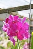 Thailändische Orchidee Flowers-13 Lizenzfreie Stockfotos