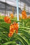 Thailändische Orchidee Flowers-11 Lizenzfreie Stockfotos