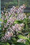 Thailändische Orchidee Flowers-08 Lizenzfreie Stockfotografie