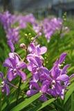 Thailändische Orchidee Flowers-07 Stockfotografie