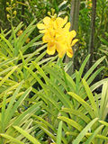 Thailändische Orchidee Flowers-04 Stockfoto