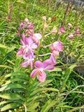 Thailändische Orchidee Flowers-04 Stockfotos