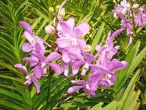 Thailändische Orchidee Flowers-02 Lizenzfreie Stockbilder