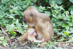 Thailändische Paare der Affemutter und -sohns Stockbilder