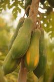 Thailändische Papaya Stockfoto
