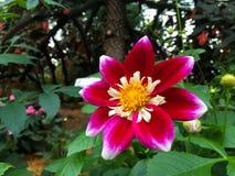 Thailändische rosa Blumen Lizenzfreies Stockfoto