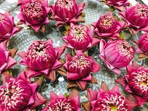 Thailändische rosa Lotosblume Stockfotografie