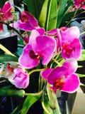 Thailändische rosa Orchideenblume Lizenzfreie Stockfotos