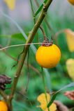 Thailändische Tomate stockbilder