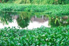Thailändische Wasserhyazinthe stockfotos