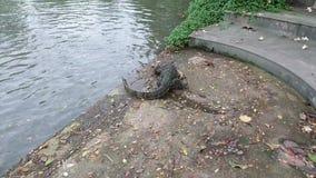 Thailändische Wassermonitoreidechsenschwimmen im Teich, Varanus salvator stock video footage