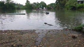 Thailändische Wassermonitoreidechsenschwimmen im Teich, Varanus salvator stock video