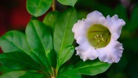 Thailändische weiße Blume Lizenzfreie Stockbilder