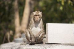 Thailändischer Affe Lizenzfreie Stockfotografie