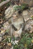 Thailändischer Affe Stockbilder