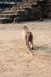 Thailändischer Affe Lizenzfreies Stockbild