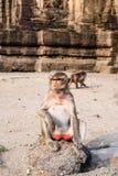Thailändischer Affe Stockbild