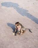 Thailändischer Affe Stockfotografie