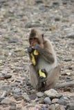 Thailändischer Affe beim Speisen auf den Felsen Lizenzfreie Stockbilder