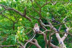 Thailändischer Affe, der auf den Niederlassungen stillsteht Lizenzfreies Stockfoto