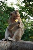 Thailändischer Affe der Makaken Stockfotografie