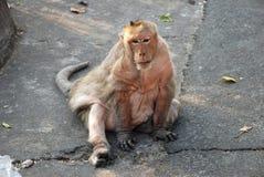 Thailändischer Affe der Makaken Lizenzfreies Stockbild
