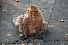 Thailändischer Affe der Makaken Stockbilder