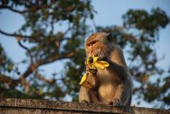Thailändischer Affe der Makaken Stockbild