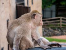Thailändischer Affe Makaken im cityclose oben, Lopburi, Thailand Stockfotografie