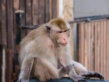 Thailändischer Affe Makaken im cityclose oben, Lopburi, Thailand Stockbilder