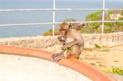 Thailändischer Affe (Makaken) kauend auf Gras Lizenzfreie Stockbilder