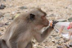 Thailändischer Affe trinkt Wasser von der Flasche Stockfoto