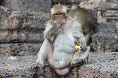 Thailändischer asiatischer wilder Affe, der verschiedene Tätigkeiten tut Stockfotografie