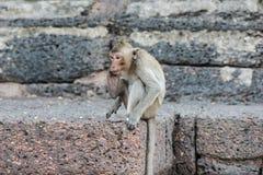 Thailändischer asiatischer wilder Affe, der verschiedene Tätigkeiten tut Stockfotos
