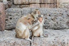 Thailändischer asiatischer wilder Affe, der verschiedene Tätigkeiten tut Stockbilder